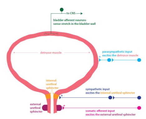receptors and bladder
